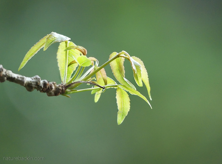 New leaves of the copper-stem corkwood in springtime