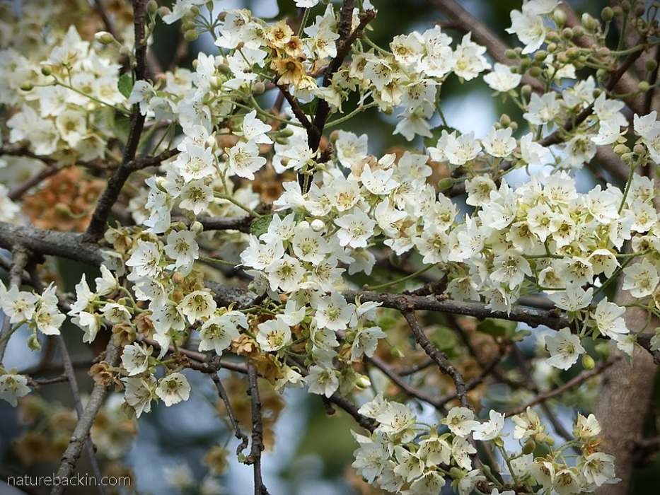 Flowers of the wild pear in springtime, South Africa