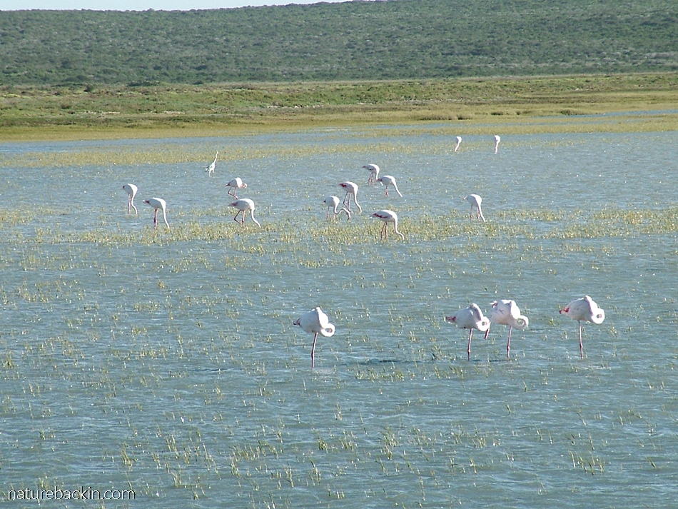Flamingoes foraging in the shallow water of the Langebaan Lagoon