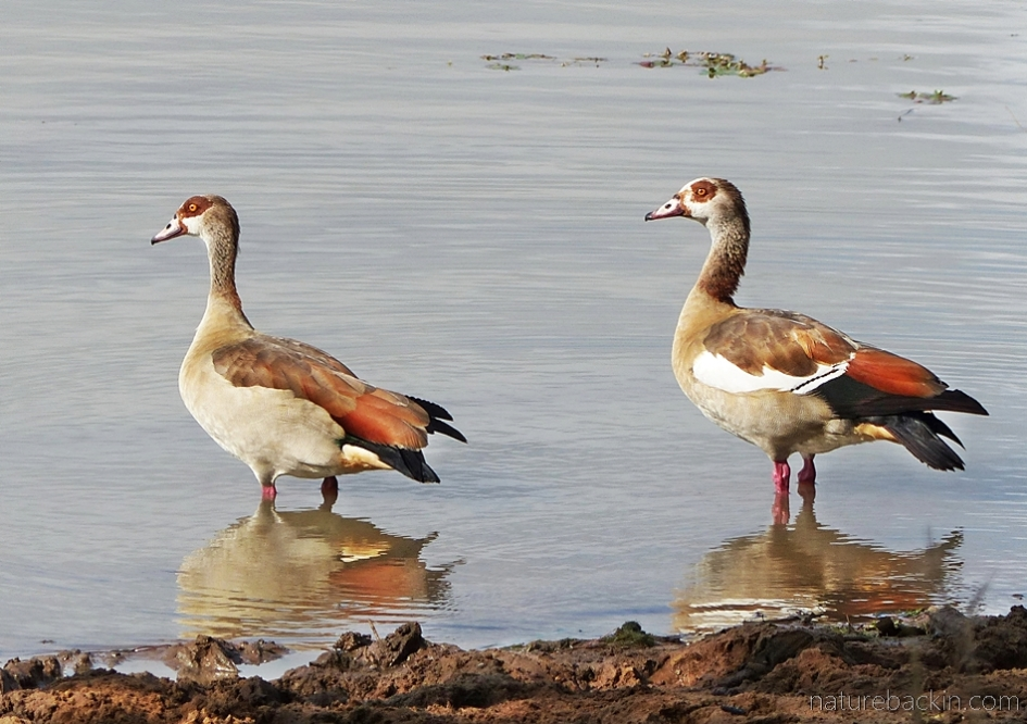 Pair of Egyptian geese at Mkhuze Game Reserve, South Africa