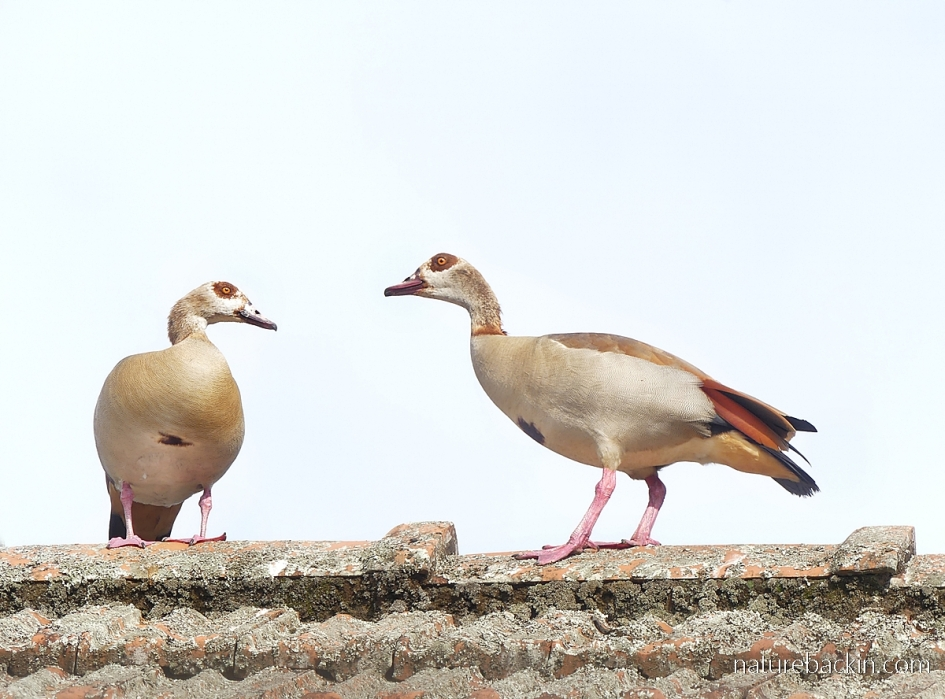 Pair of Egyptian geese on the roof