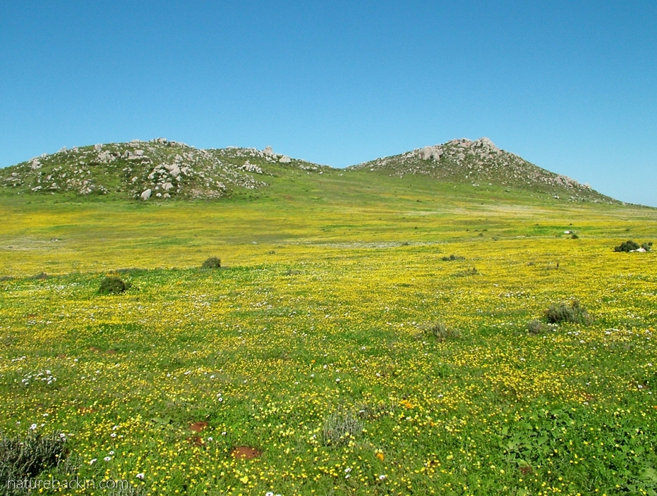 Springflowers in the Postberg section of the West Coast National Park, South Africa