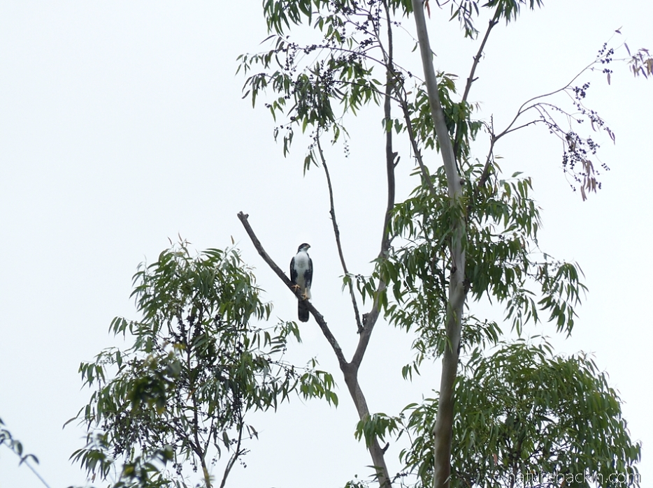 Black sparrowhawk in eucaluptus tree on margins of a plantation, KwaZulu-Natal