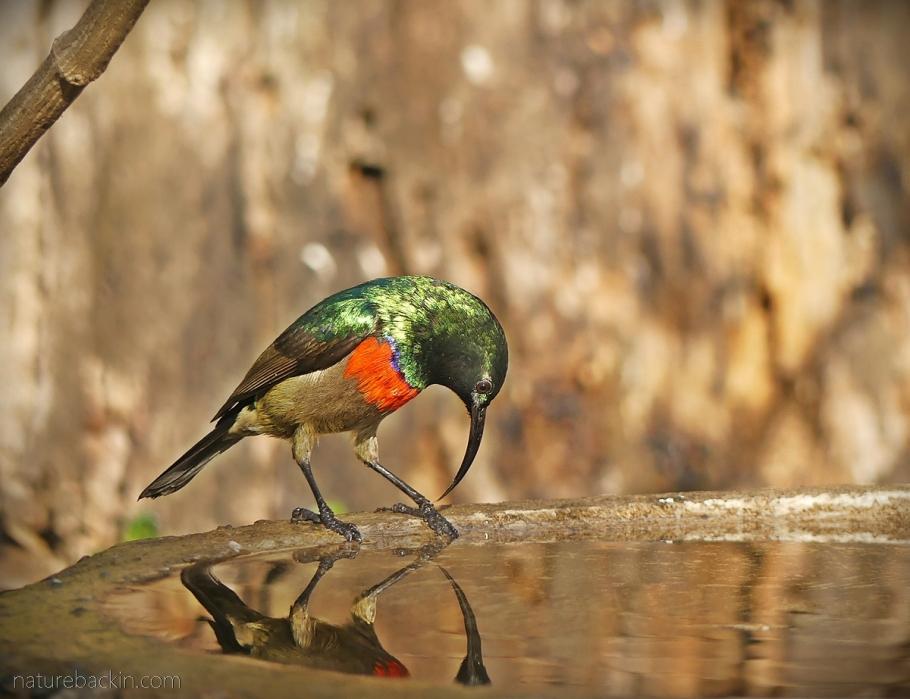 A double-collared sunbird at birdbath, South Africa