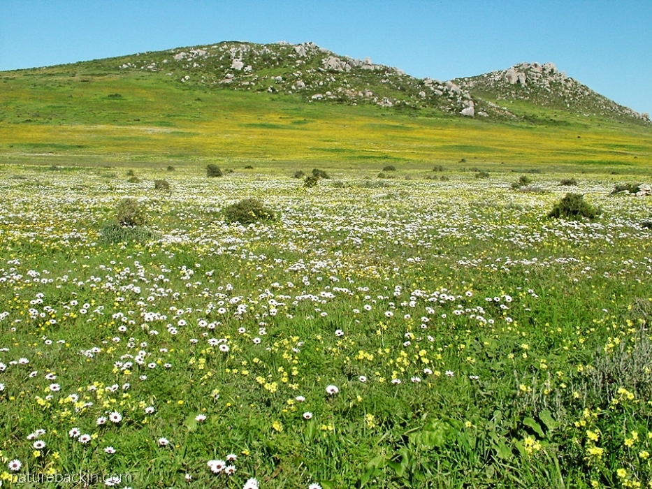 View of spring flowers at Postberg nature reserve, Western Cape