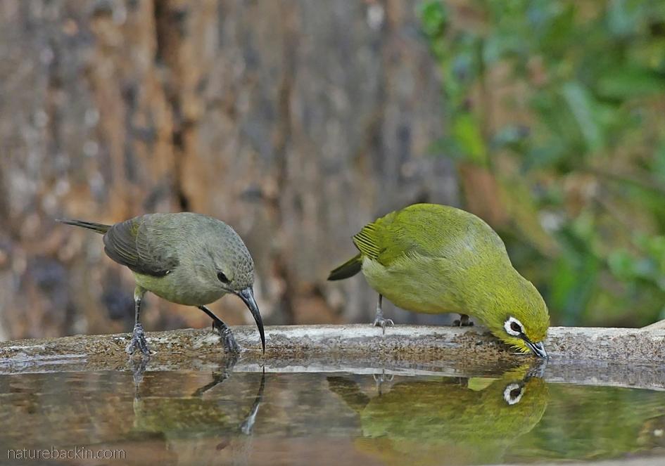 A female double-collared sunbird and Cape white-eye drinking at bird bath, KwaZulu-Natal