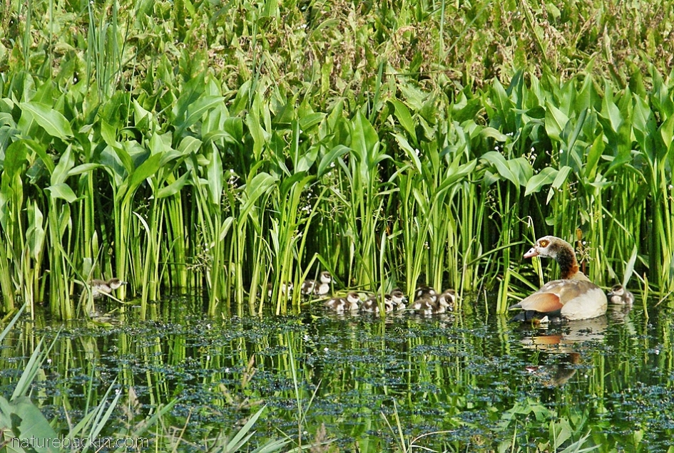 Egyptian goose and chicks swimming in a pond