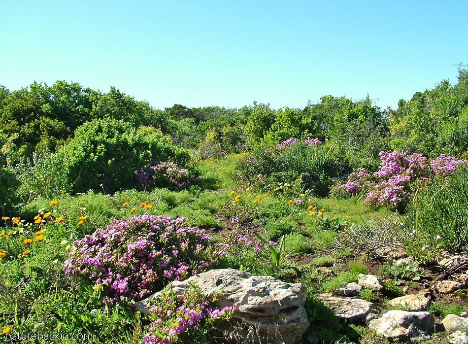 Succulents and other spring flowers at Postberg nature reserve, South Afrrica