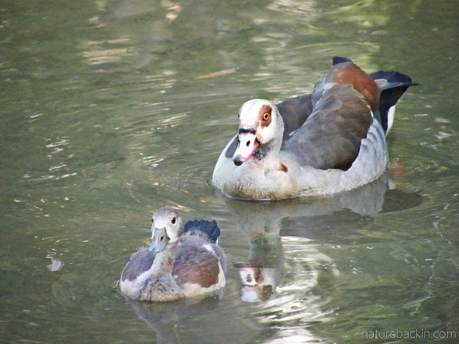 Egyptian goose swimming with chick, South Africa