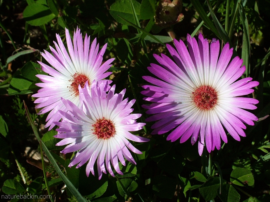Pink and white Bokbaai vygie in flower at Postberg nature reserve