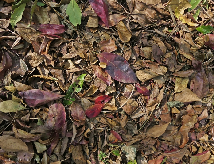 Carpet of fallen leaves from deciduous trees, South Africa