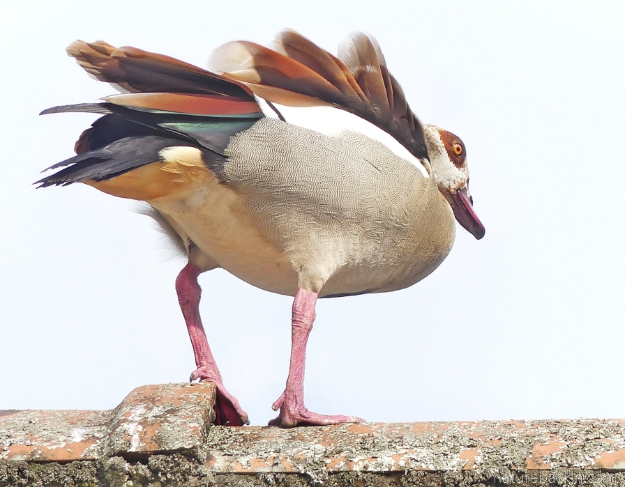 Egyptian goose with ruffled feathers, South Africa