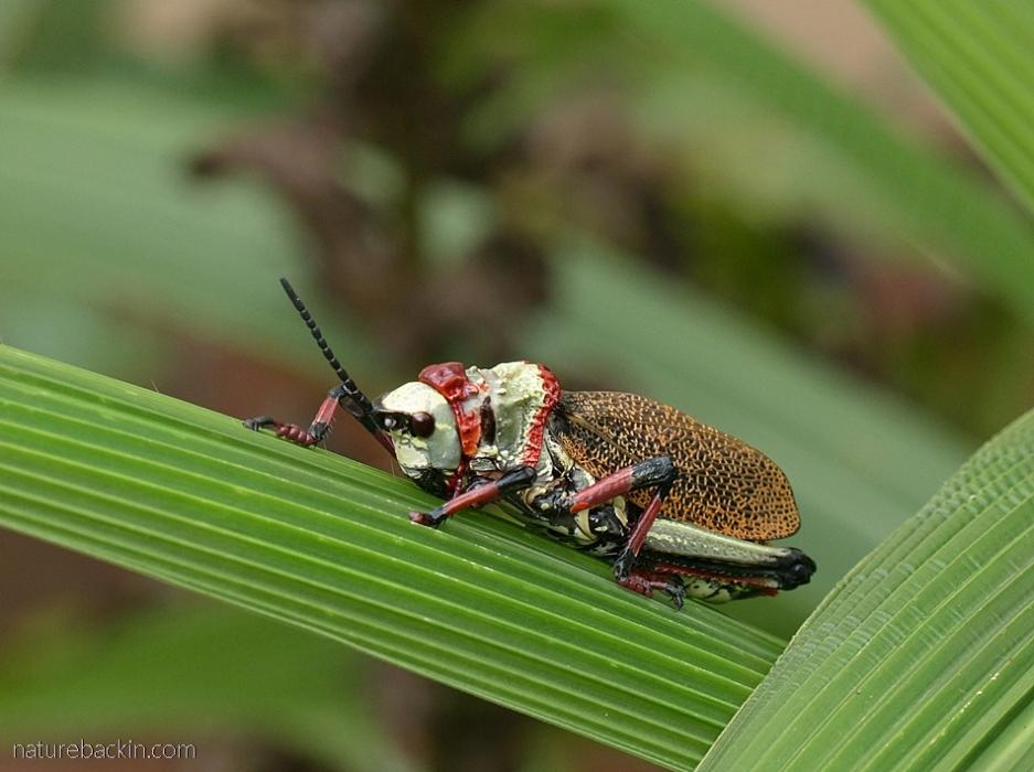 Sleeping koppie foam grasshopper, South Africa