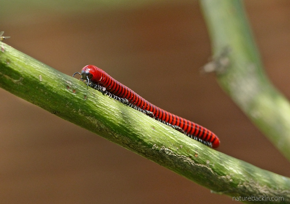 Red millipede, South Africa