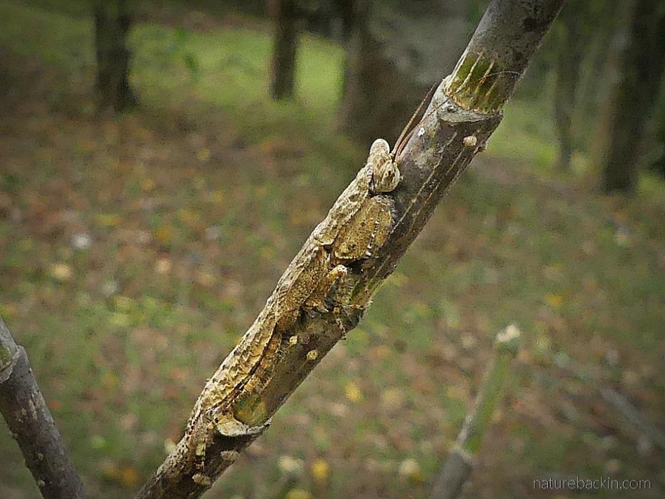Bark mantis, suburban garden, KwaZulu-Natal