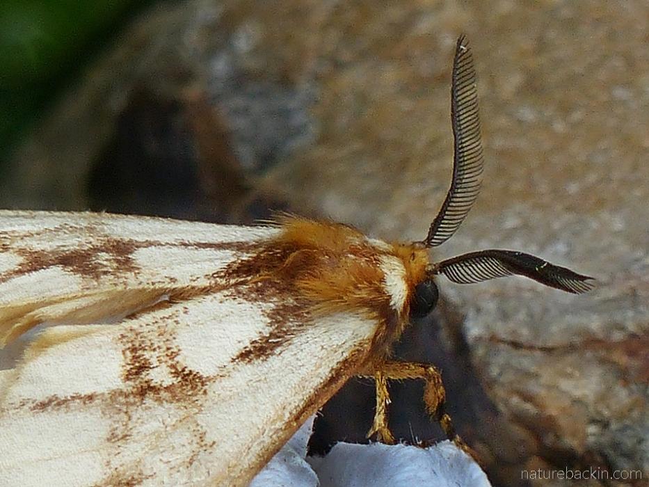 Antennai of the reticulate bagnet (Anaphe reticulata moth