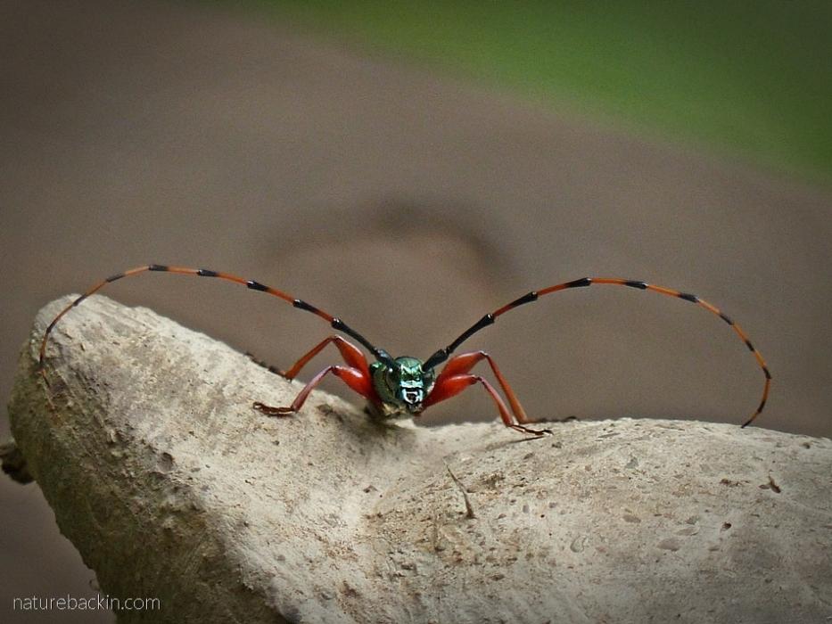 Longhorn beetle, KwaZulu-Natal