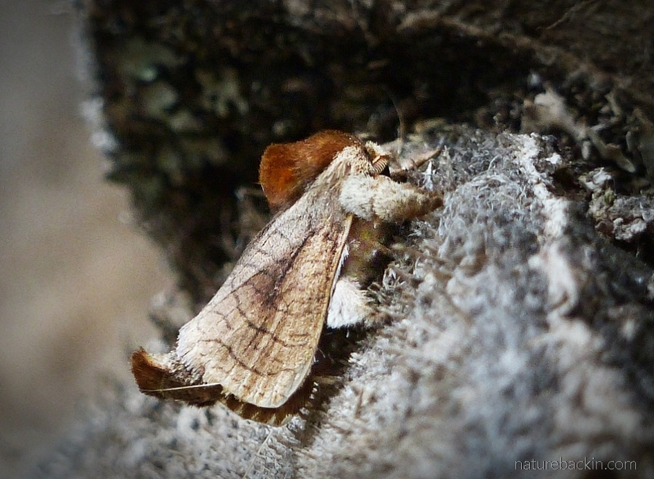 Furry brown and beige moth, South Africa