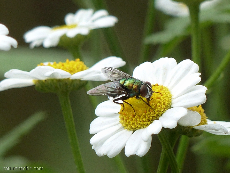 A blow fly visiting a flower for nectar