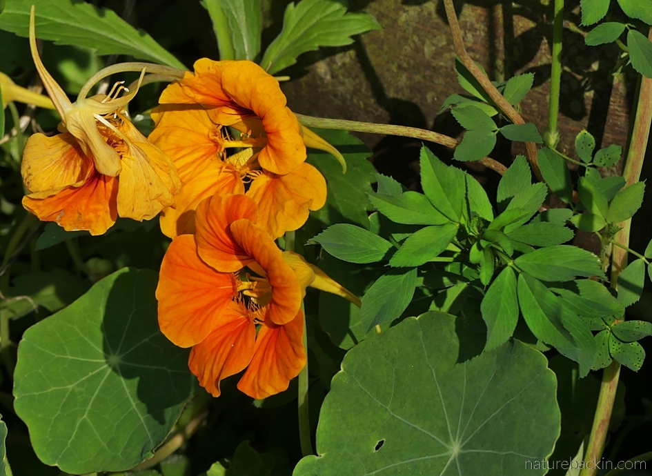 Nasturtiums and alfalfa in home kitchen garden