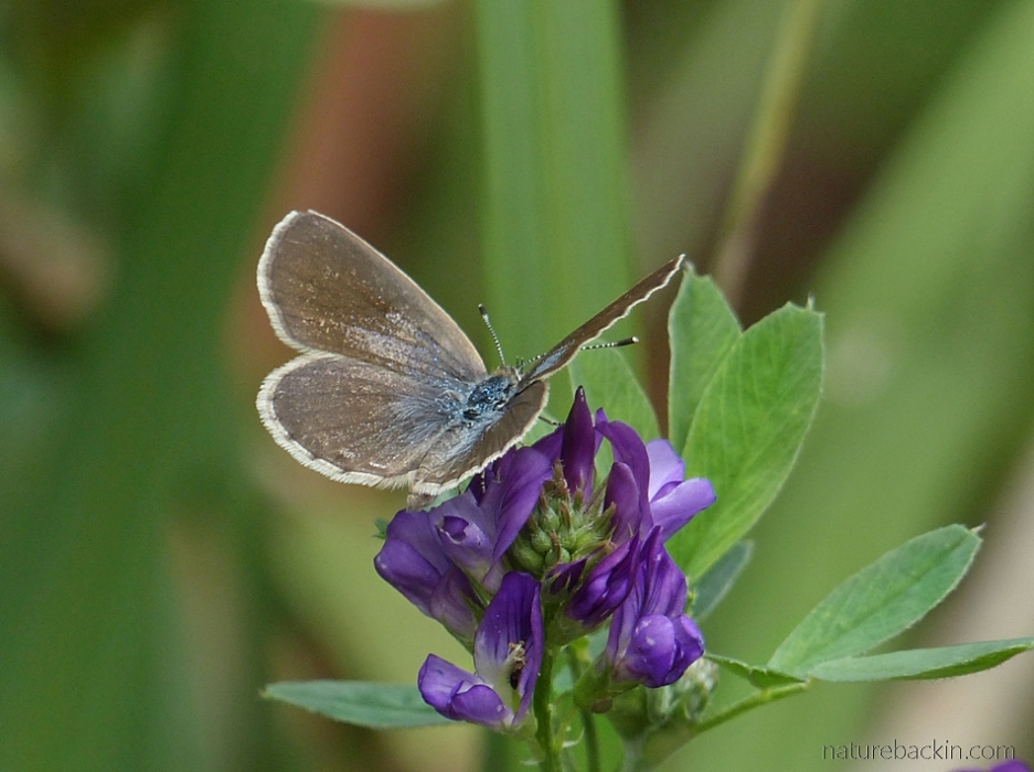 Butterfly visiting an alfalfa flower