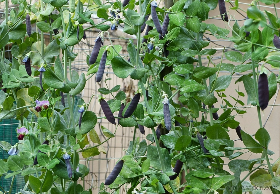 Peas with purple pods in home vegetable patch