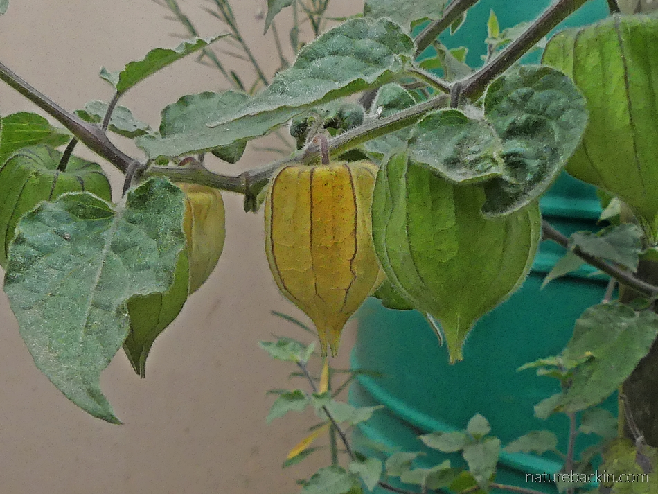Cape gooseberry fruits