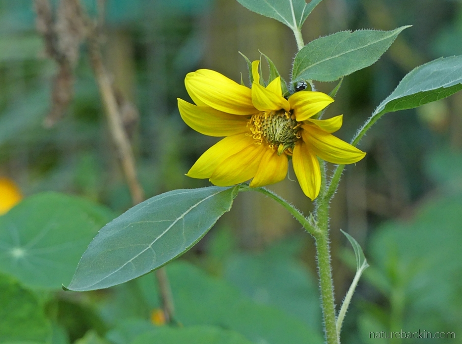 Sunflower in home vegetable garden