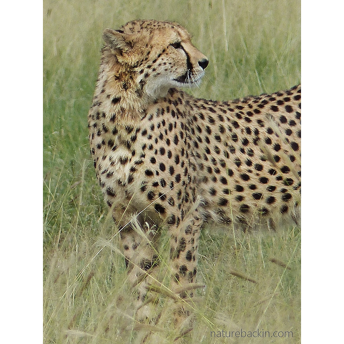 Cheetah showing its spts