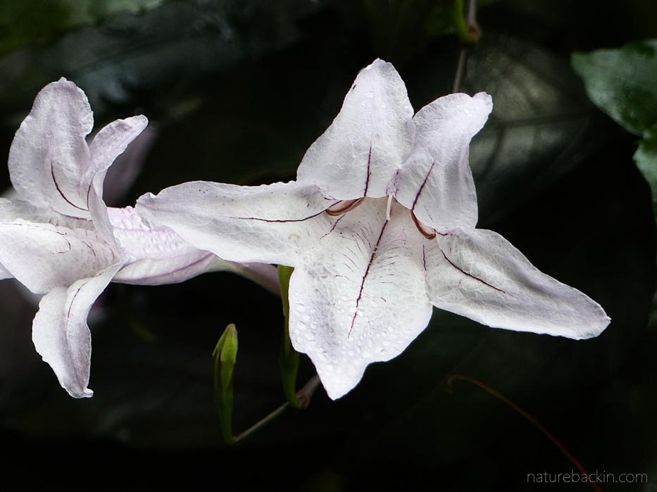 Mackaya bella flower showing bilateral symmetry