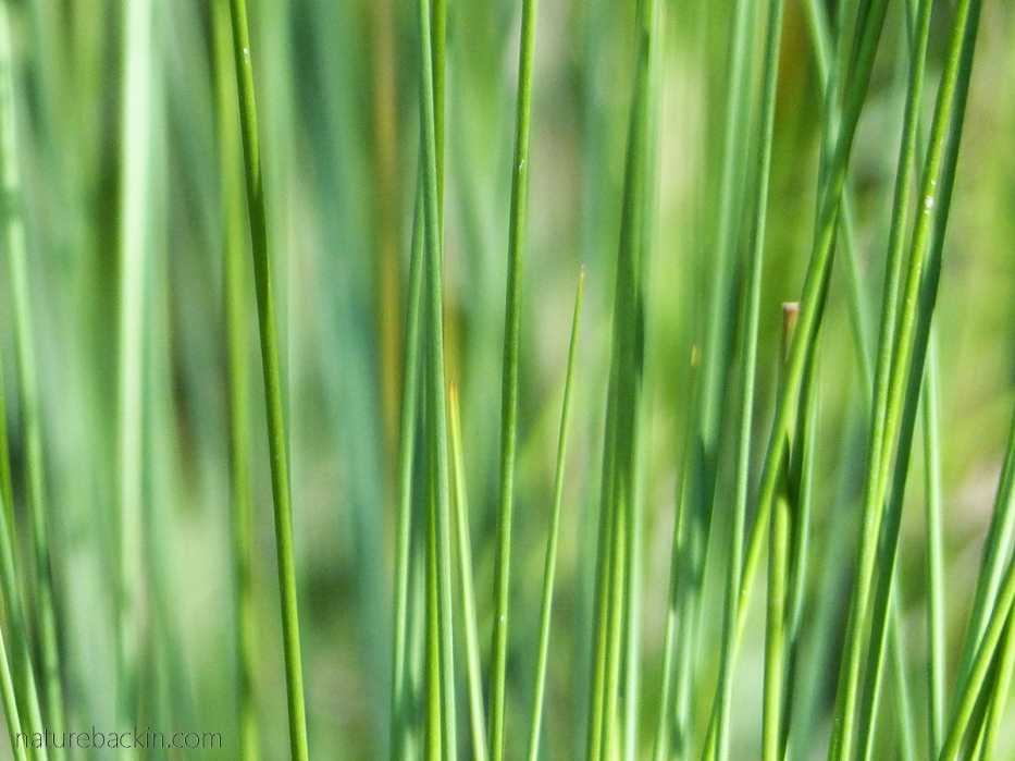 Pattern formed by leaves of the common sedge (Juncus effusus)