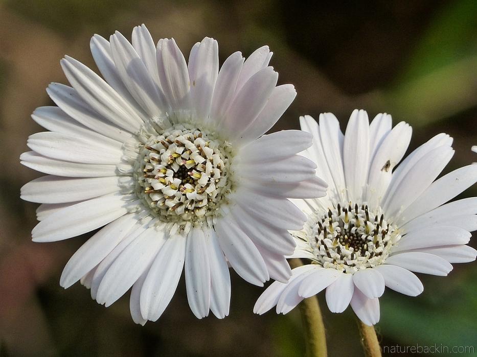 Gerbera flowers showing radial symmetry