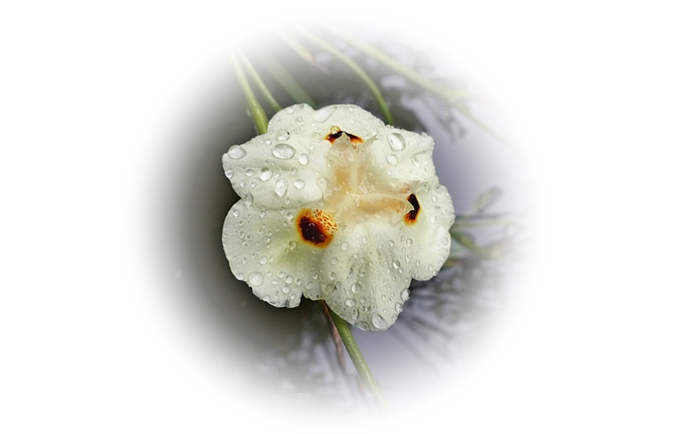 Close-up of flower of the Dietes bicolour