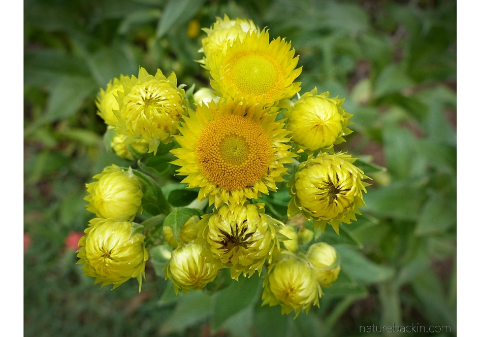 Helichrysum cooperi showing radial symmetry