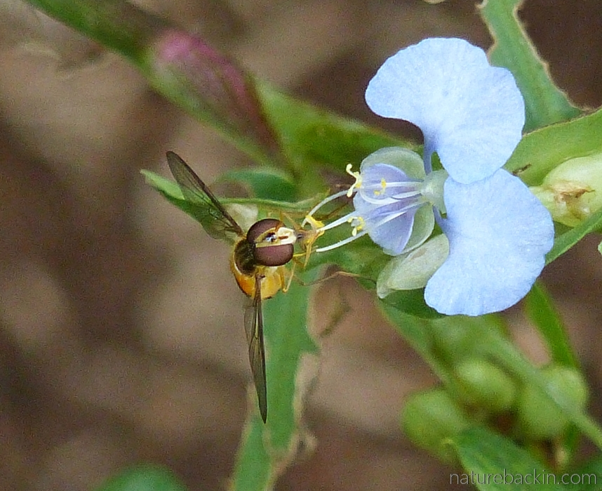 Tropical spiderwort visited by hoverfly