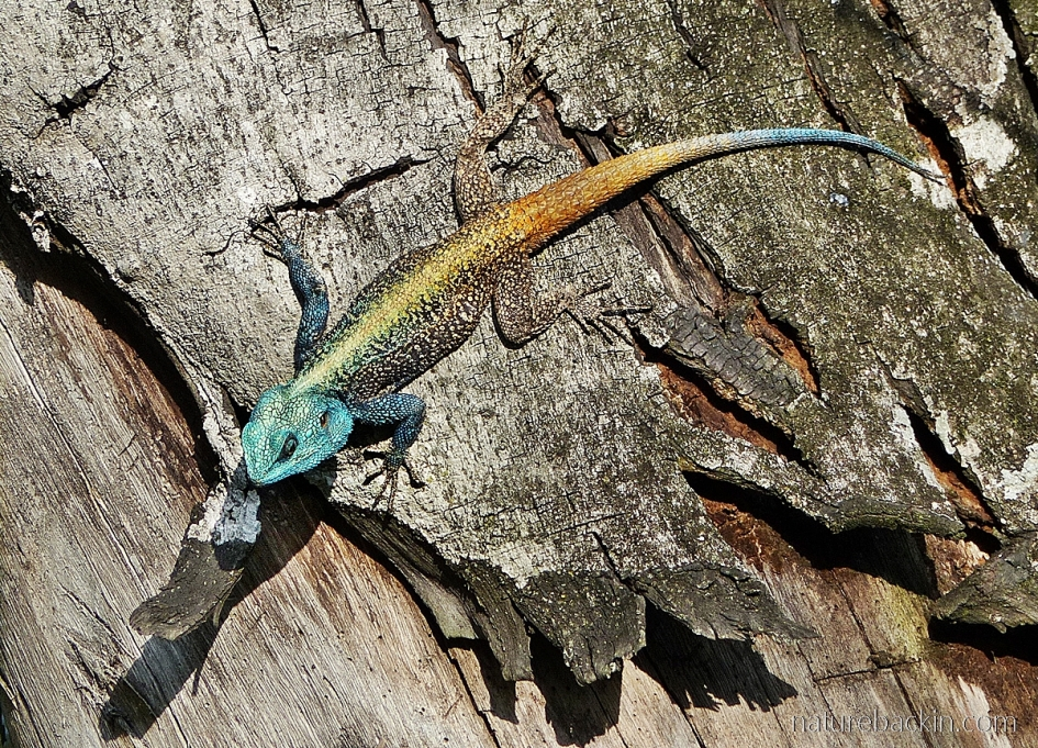 Southern tree agama showing bilateral symmetry