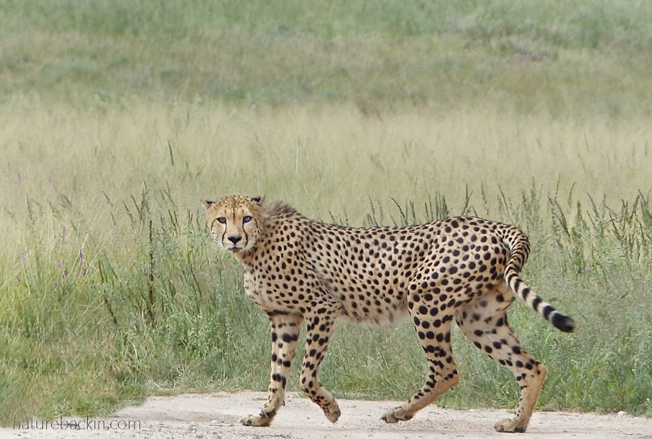 Cheetah walking at Mabuasehube Game Reserve