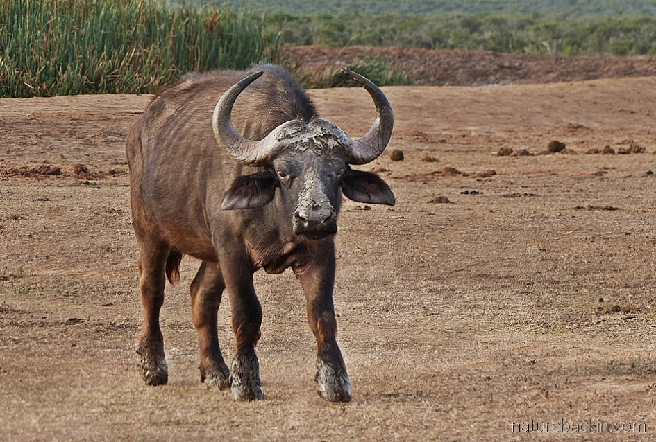 African buffalo with muddy 'boots'