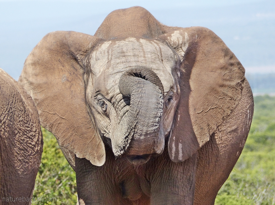 Elephant curling up trunk