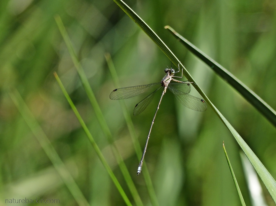 Damselfly perching on vegetation near pond