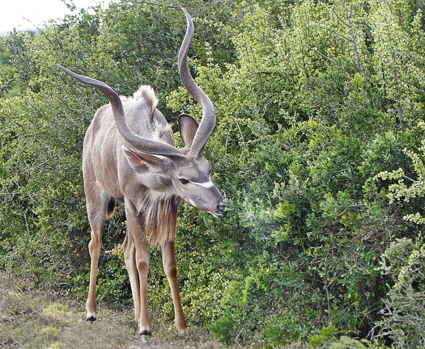 Kudu bull showing symmetrical horns