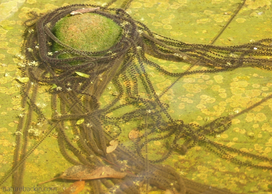 Skeins of frog spawn from guttural toads decorating a pond