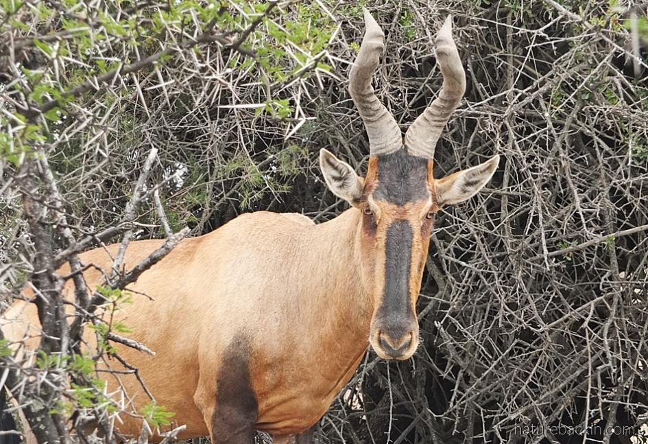 Red hartebeest showing symmetrical horns
