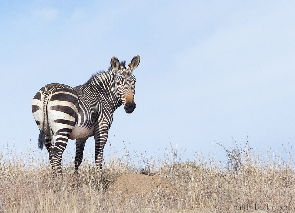 Cape mountain zebra showing some symmetry in stripes