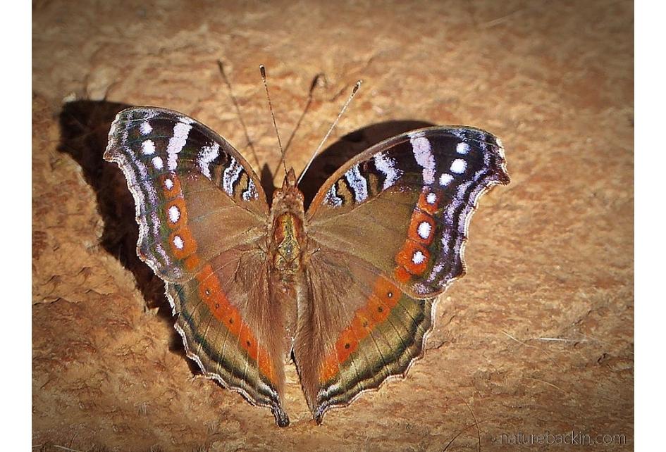 Garden inspector butterfly showing symmetry in wing pattern
