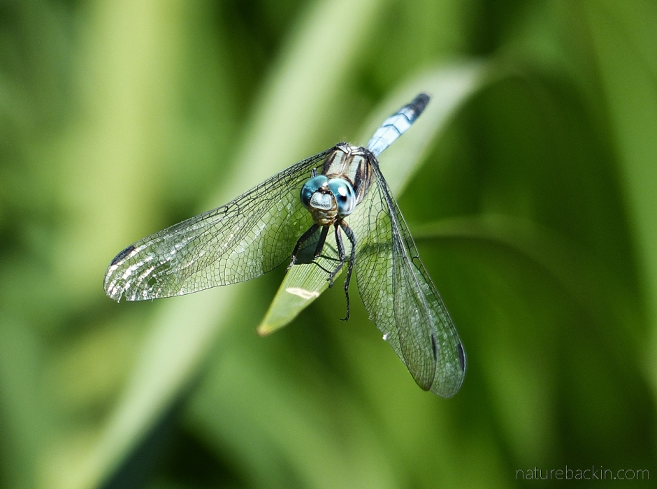 A perched dragonfly showing veined wings