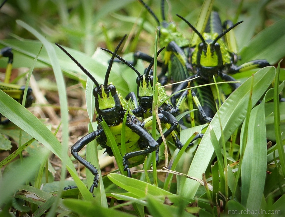 Foam grasshoppers with symmetrical antennae