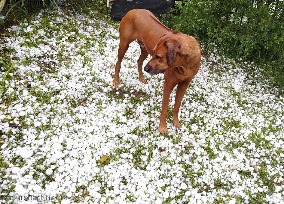 Ridgeback dog viewing hailstones after a storm