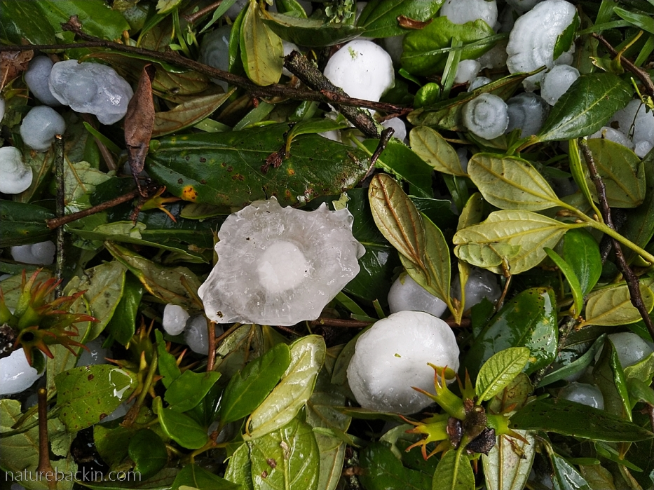 Leaves stripped by falling hailstones