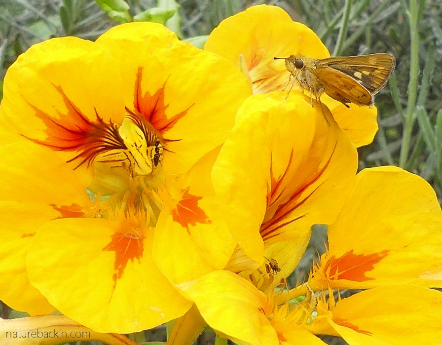 Skipper butterfly and ant on nasturtium flowers
